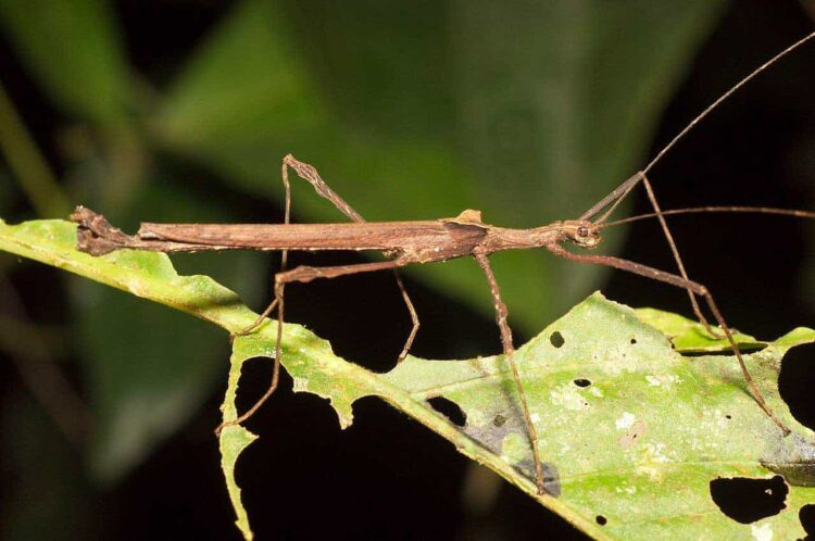 stick insect eating leaf