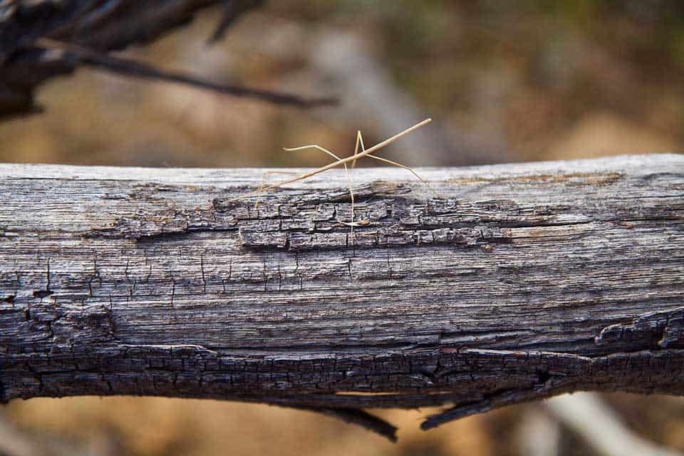 Small Stick Insect on Branch