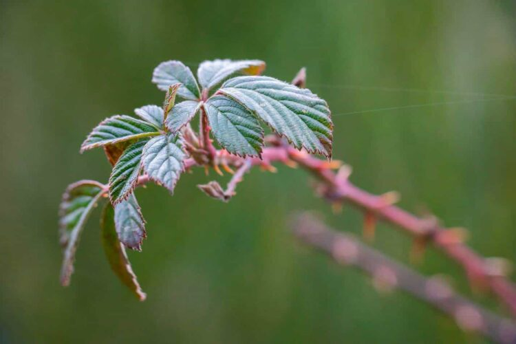baby bramble leaves in winter