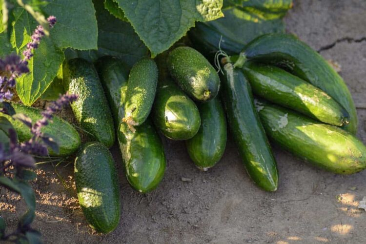 bunch of cucumbers growing