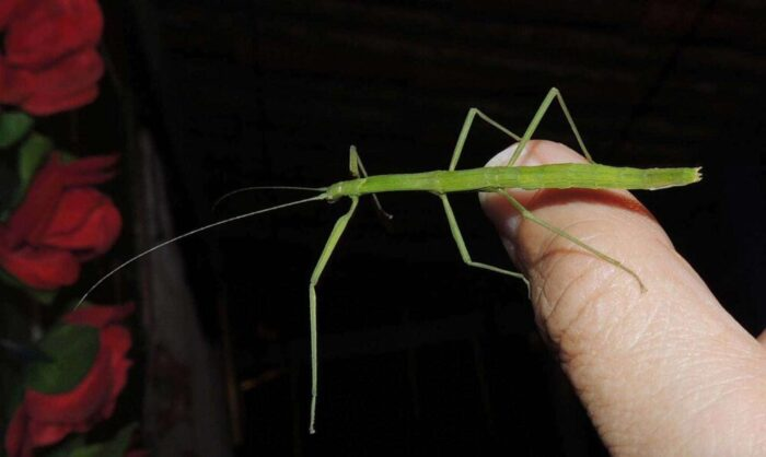 Green Stick Insect on Finger