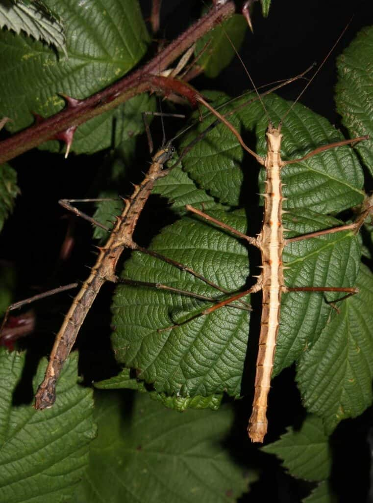 2 stick insects on leaves