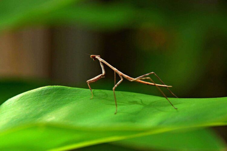 Small Stick Insect on Green Leaf
