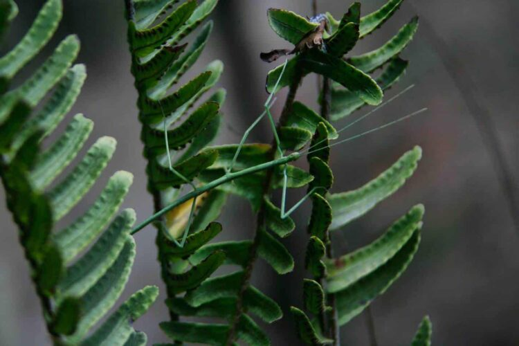 Green Stick Insect on Leaves