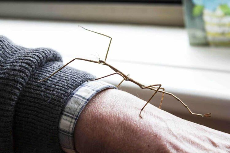 stick insect walking up a person's arm