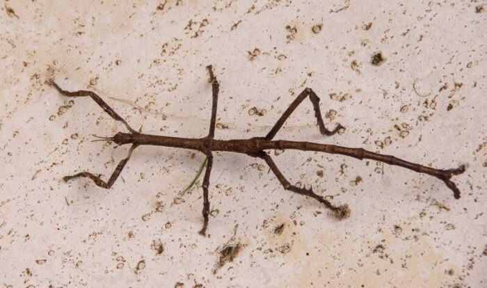 brown stick insect