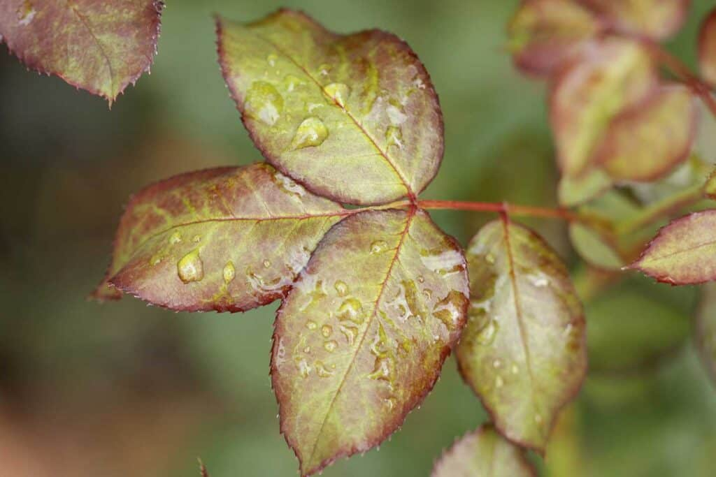 Wet Rose Leaves