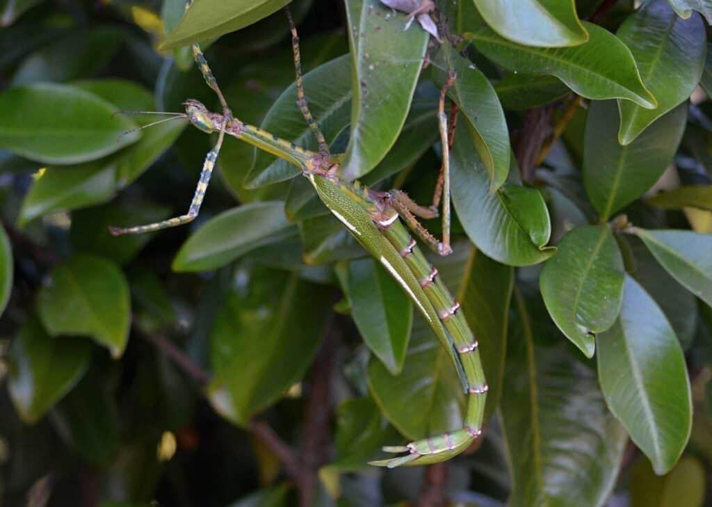 green stick insect sitting on leaves in a tree