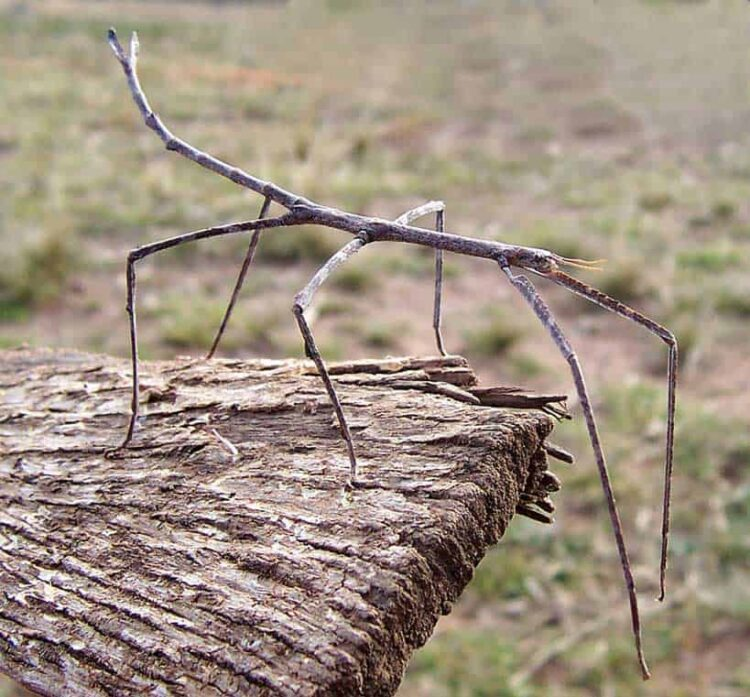 Stick Insect on Wood
