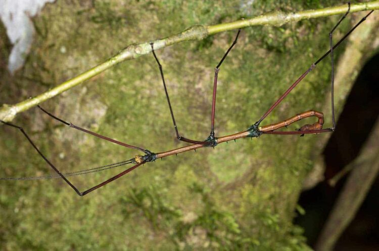 Stick Insect Upside Down on Stem