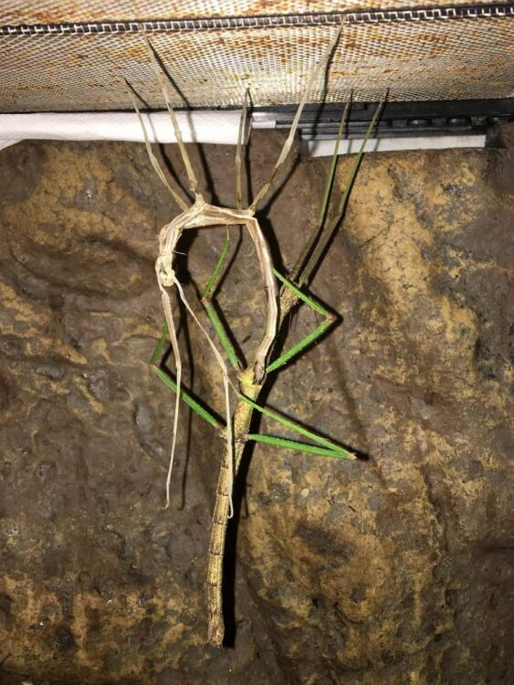 Stick Insect Shedding