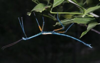 Do Stick Insects Change Color?