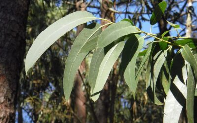 Do Stick Insects Eat Eucalyptus?