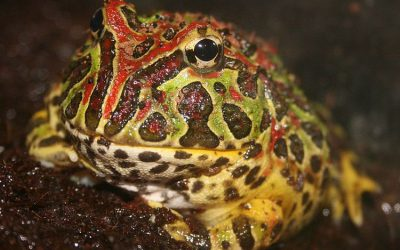 Feeding a Pet Frog – What You Need to Know