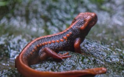 How Do Newts Develop from Egg to Adult?