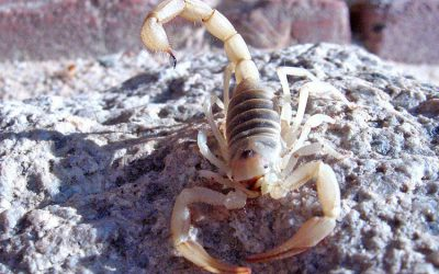 How to Keep a Pet Scorpion Happy