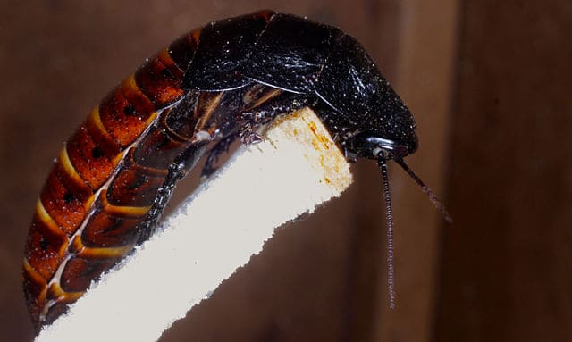 What is the Best Substrate for Hissing Cockroaches?