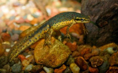 How Do Newts Reproduce?