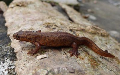 Are Newts Land or Water Creatures?