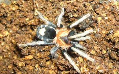 What Do Pet Tarantulas Eat?