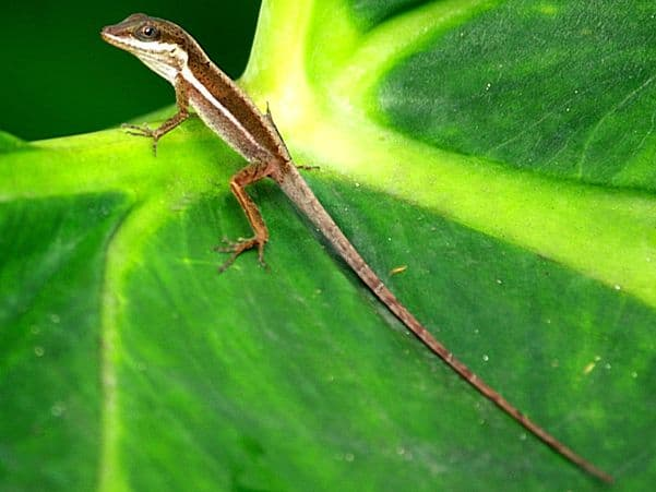 Common Grass Anole
