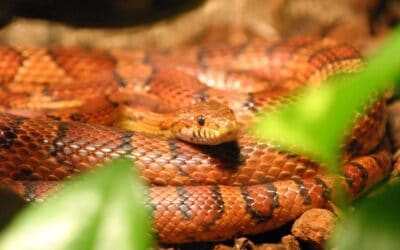 Does My Snake Have a Respiratory Infection?