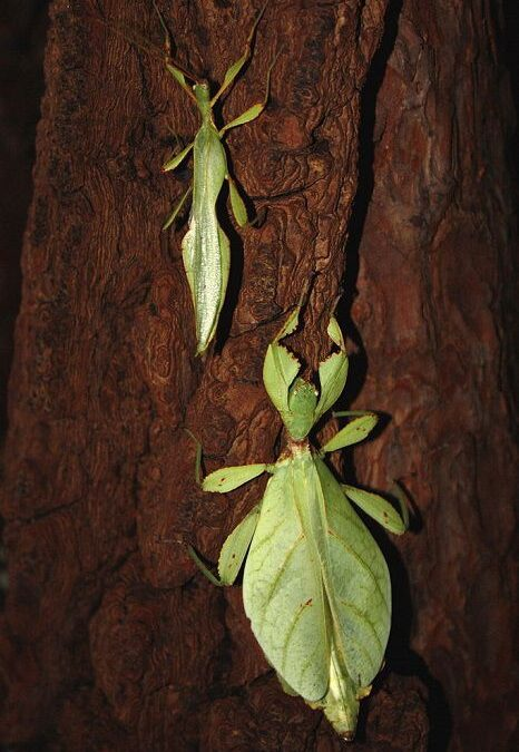 Are Leaf Insects Dangerous?