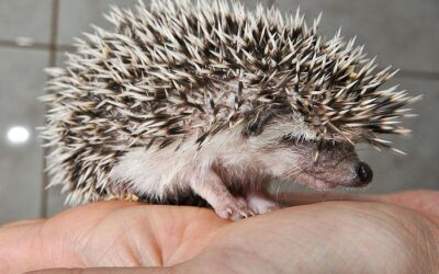 Why is My Hedgehog Losing Quills?