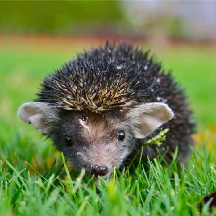 Indian Long-Eared Hedgehog