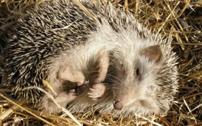 The Signs of a Healthy Hedgehog