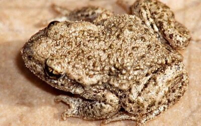 How Long Do Toads Live in Captivity?