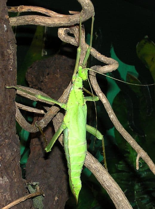 Jungle Nymph Stick Insect