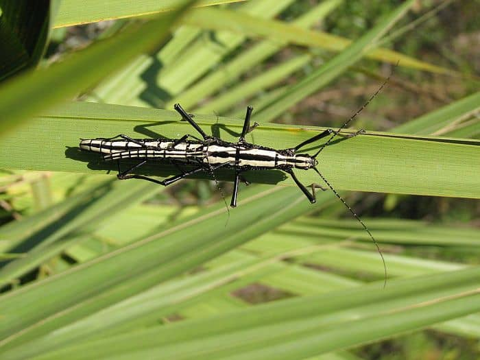 Southern Two-Striped Stick Insect
