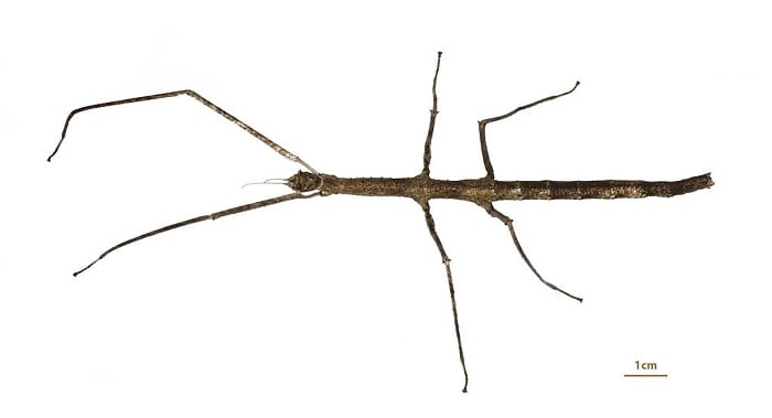 Vietnamese-Stick-Insect