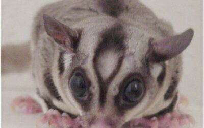 Why is My Sugar Glider Hissing?