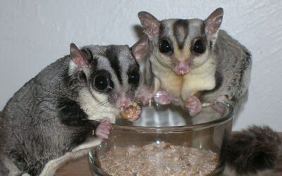 How Do You Know When Your Sugar Glider is Bonded?