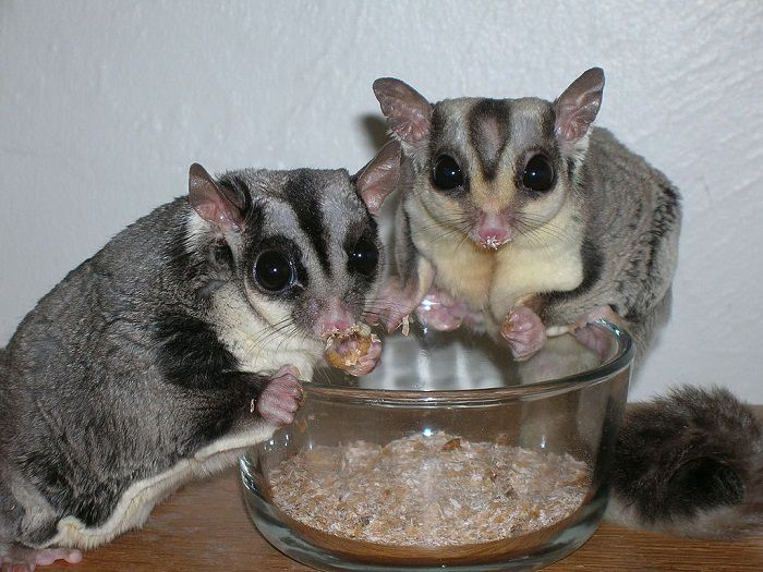 Sugar Gliders Eating Mealworms