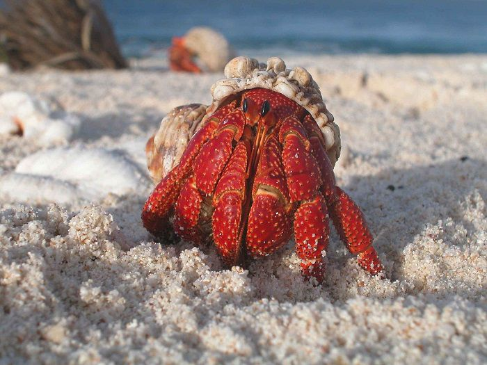 A Hermit Crab Emerging From Shell