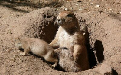 Why is My Prairie Dog Cold?