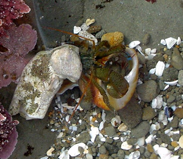Hermit Crabs Fighting Over a Shell
