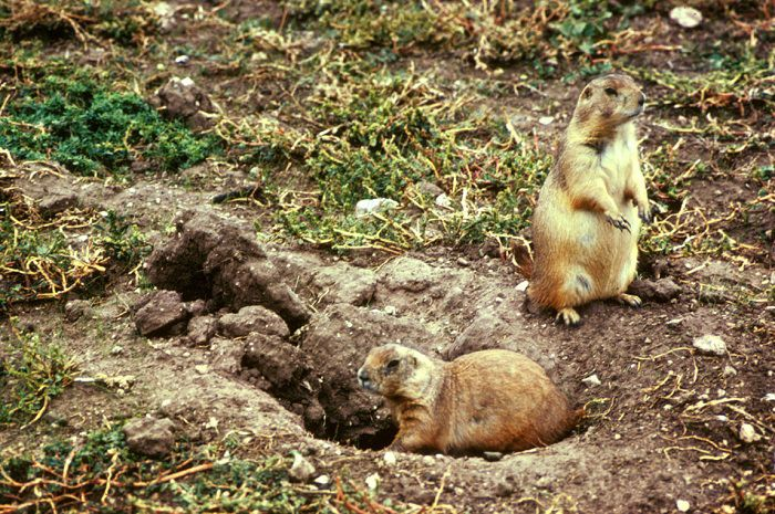 Prairie Dogs at Burrow Entrance