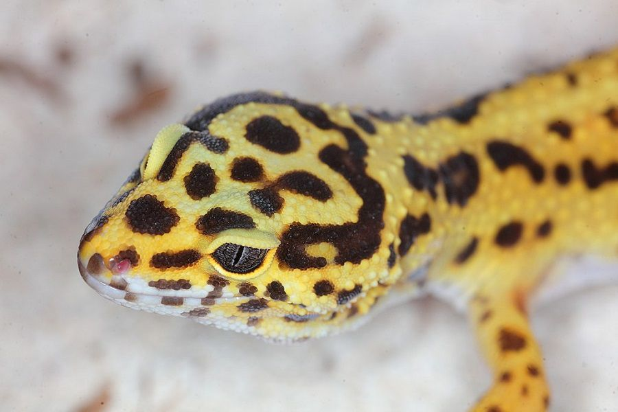 Leopard Gecko From Top